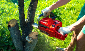 A man with a chainsaw is sawing a tree